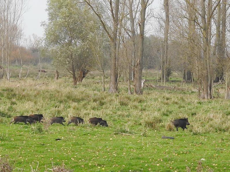 14 Wildschweinrotte