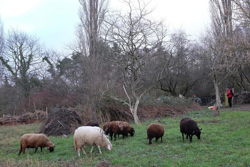 Schafe umstellen 5