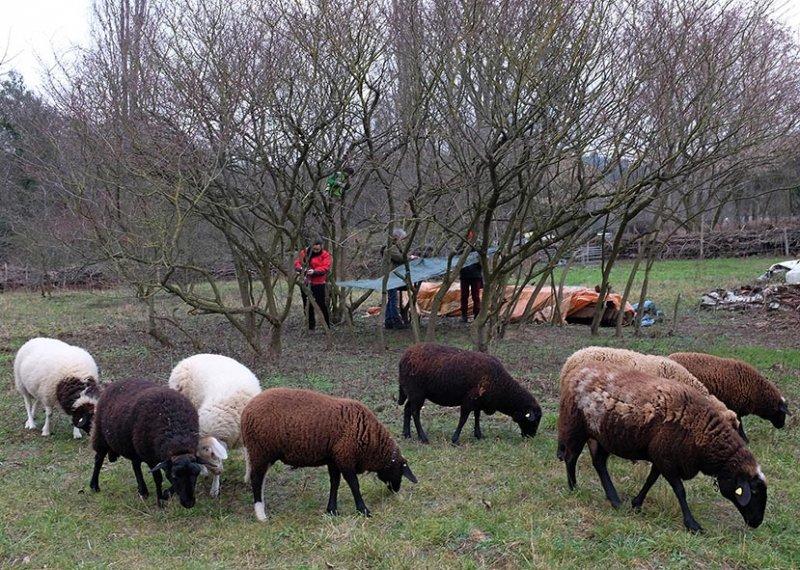 Schafe umstellen 6