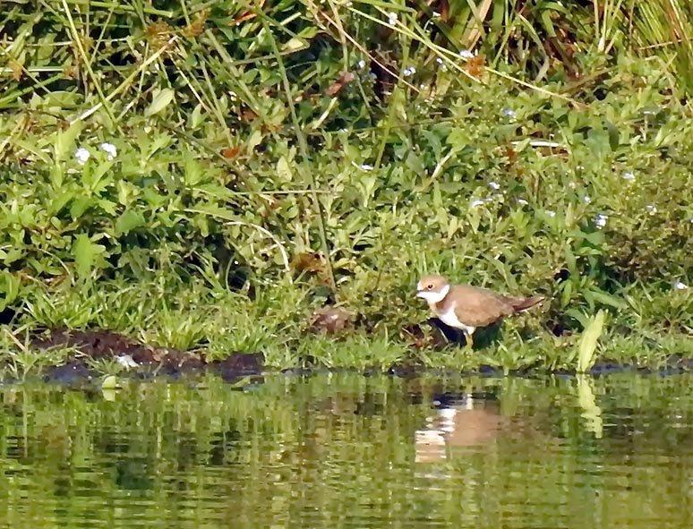 09 Juveniler Flussregenpfeifer