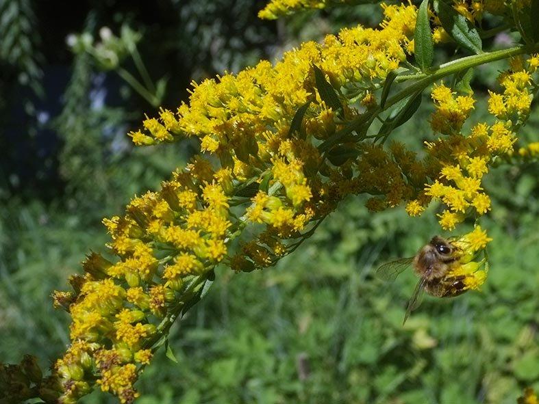 Honigbiene an Kanadischer Goldrute 1