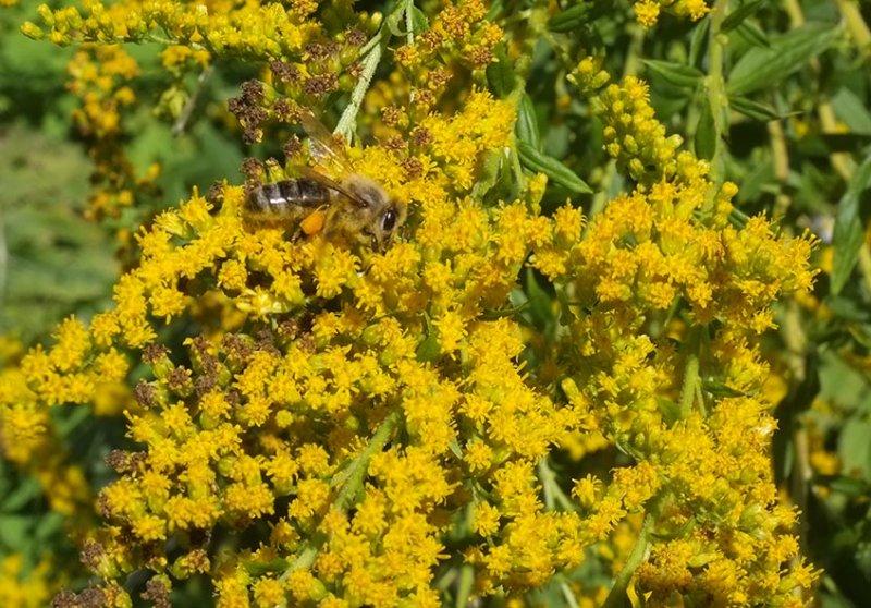 Honigbiene an Kanadischer Goldrute