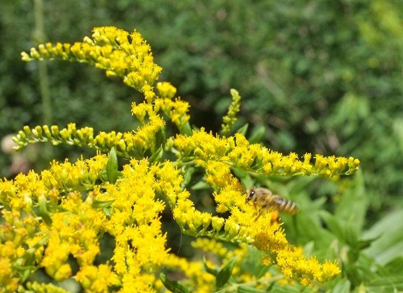 Honigbiene an Kanadischer Goldrute 3
