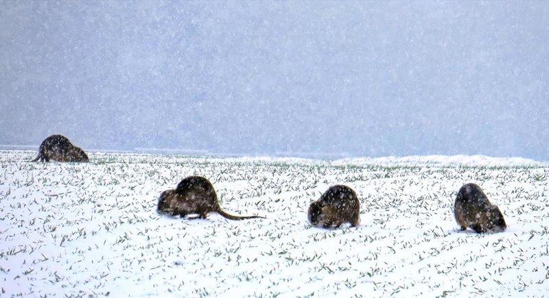 10 Nutria im Schneetreiben