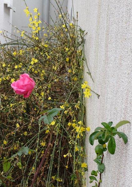 13 Winter in Balkhausen - blühende Rosen
