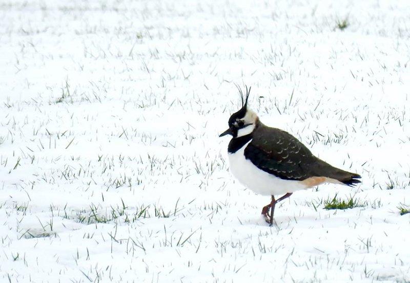 05 Kiebitz im Schnee