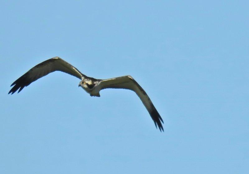 06 Fischadler