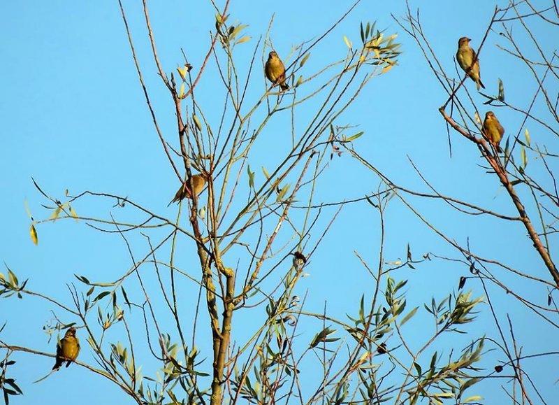 03 Junge Grünfinken