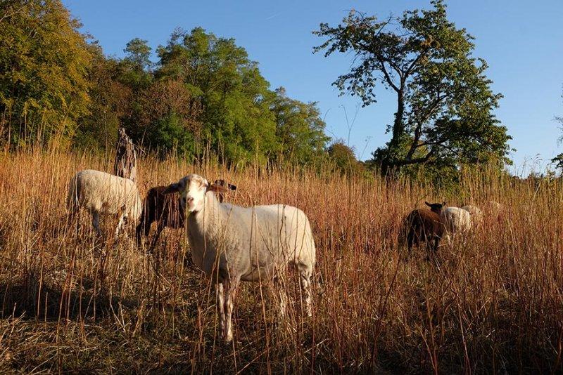 Schafe Dollackerweide