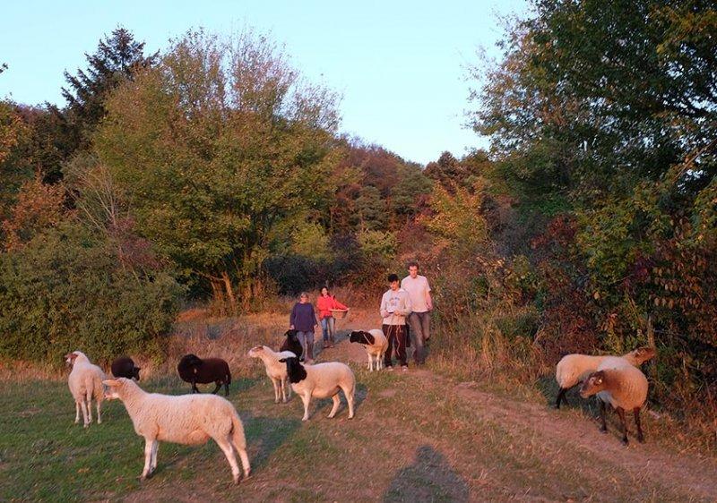 Schafe Wald Langer Berg 16
