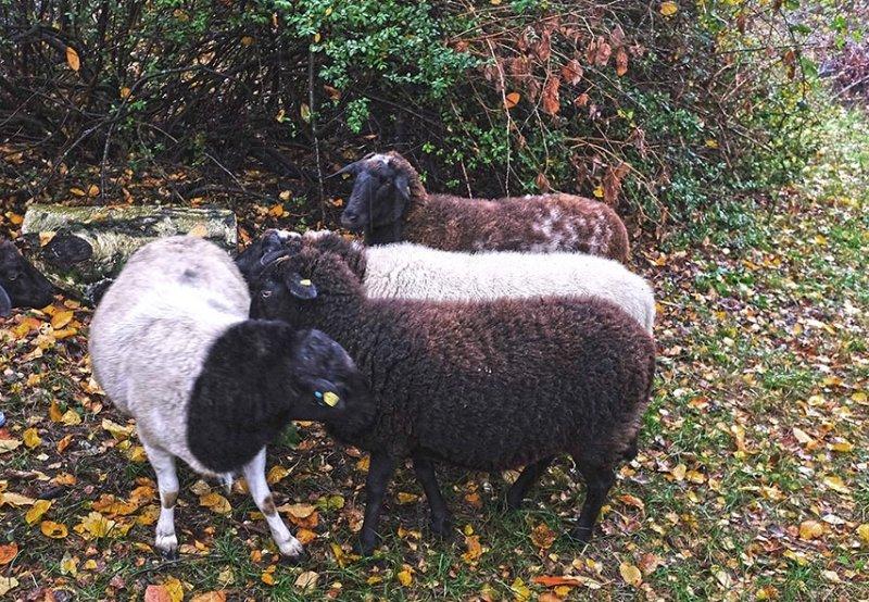 Schafe auf der Bips-Weide 1