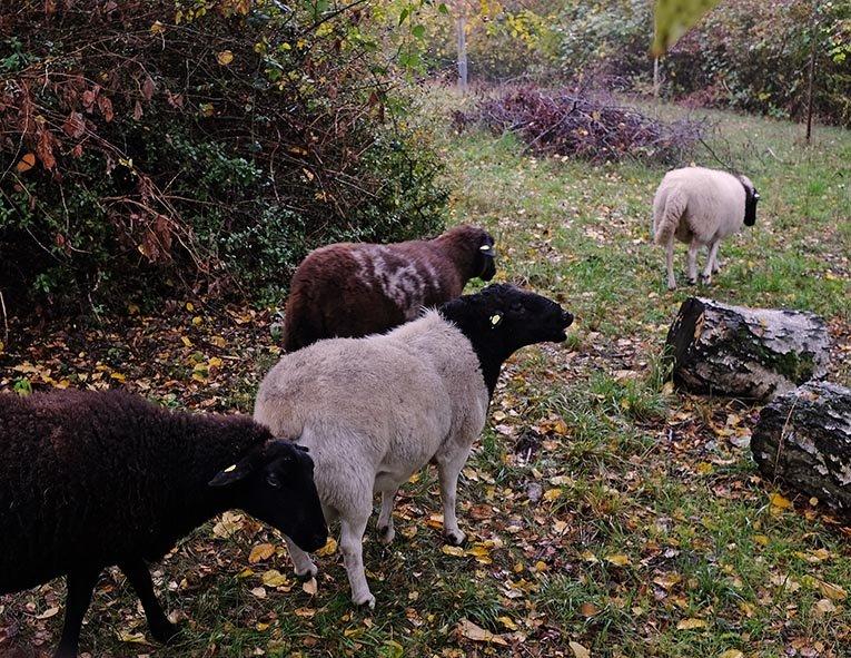 Schafe auf der Bips-Weide 2