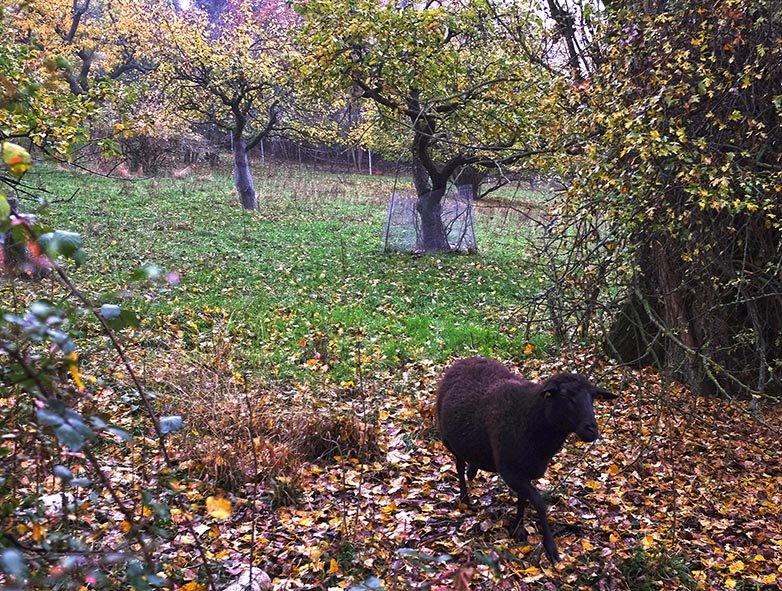 Schafe auf der Bips-Weide 3