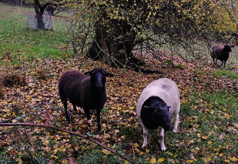 Schafe auf der Bips-Weide 4