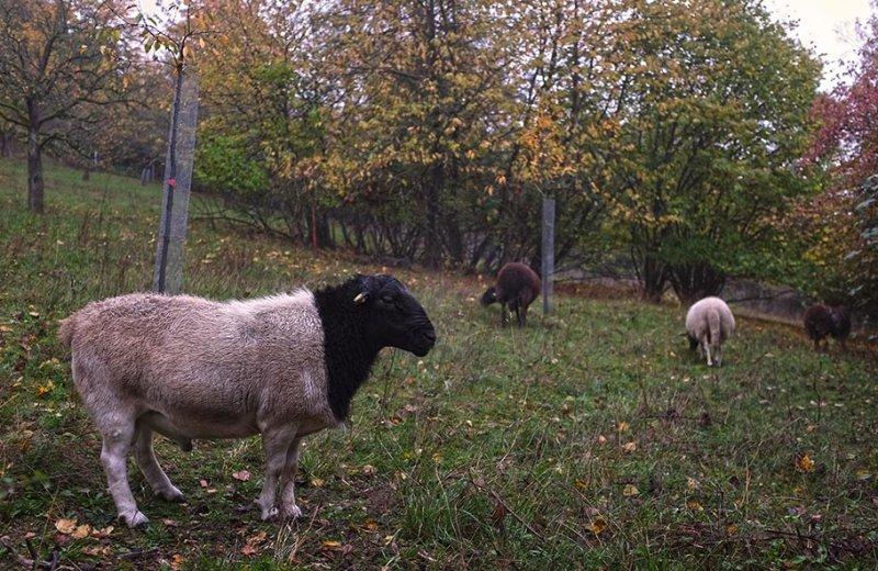 Schafe auf der Bips-Weide 5