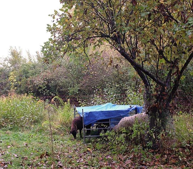 Umstellung Schafe im Regen