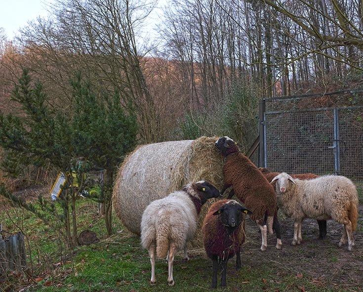 Heu fu?r die Schafe auf den Etzwiesen 2