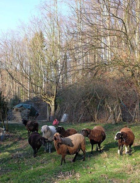 Heu fu?r die Schafe auf den Etzwiesen 3