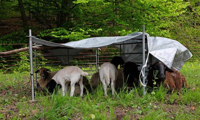 Schafe auf der Hess-Weide