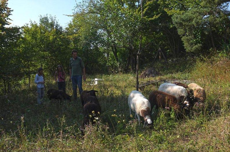 Schafe im NABU-Pflege-Grundstück