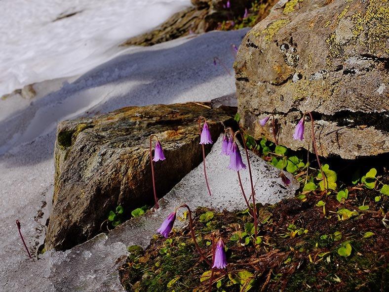 02 Blüten im Schnee 1