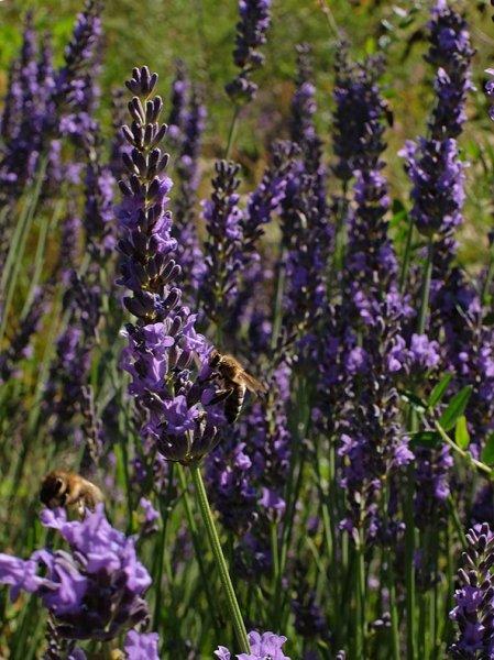 Honigbiene an Lavendelblüte