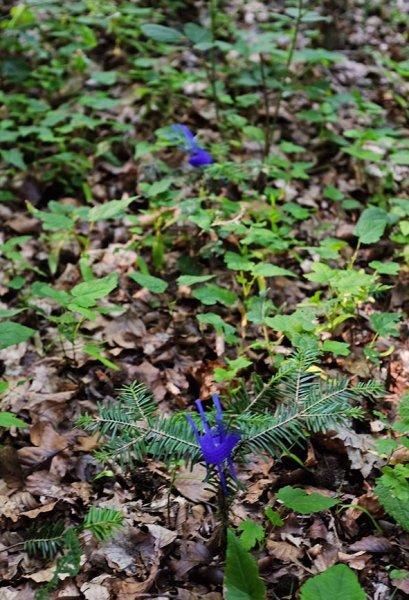 Weisstannenschutz am Melibokus im Gemeindewald Alsbach