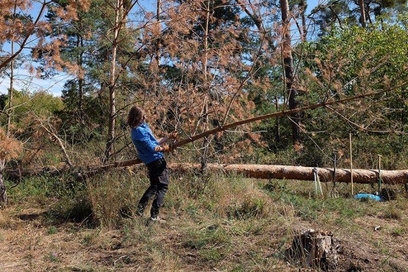 Arbeitseinsatz Bickenbacher Düne - Baum fällt 2 10x15s