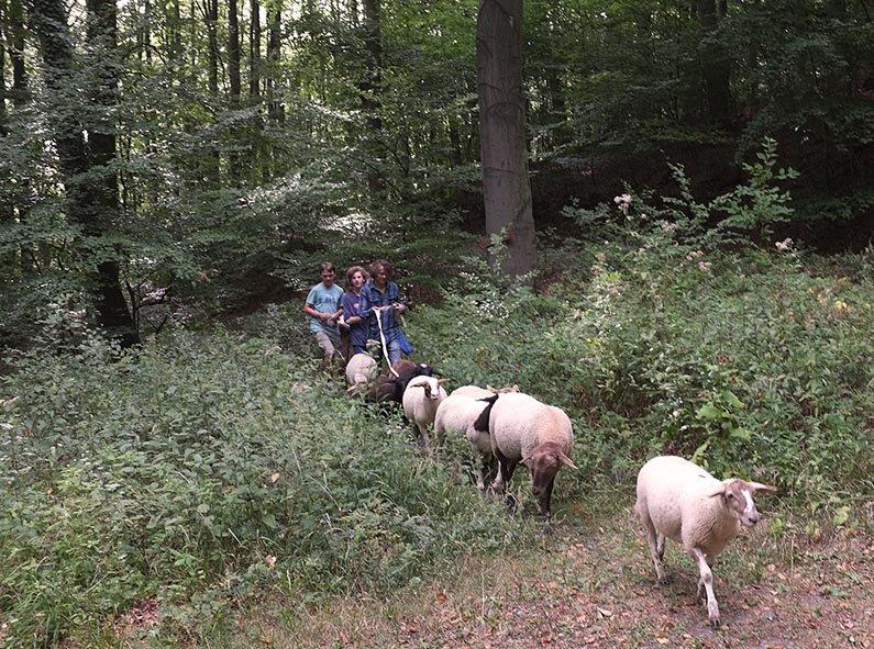 Schafwanderung in den Odenwald - Rast 1