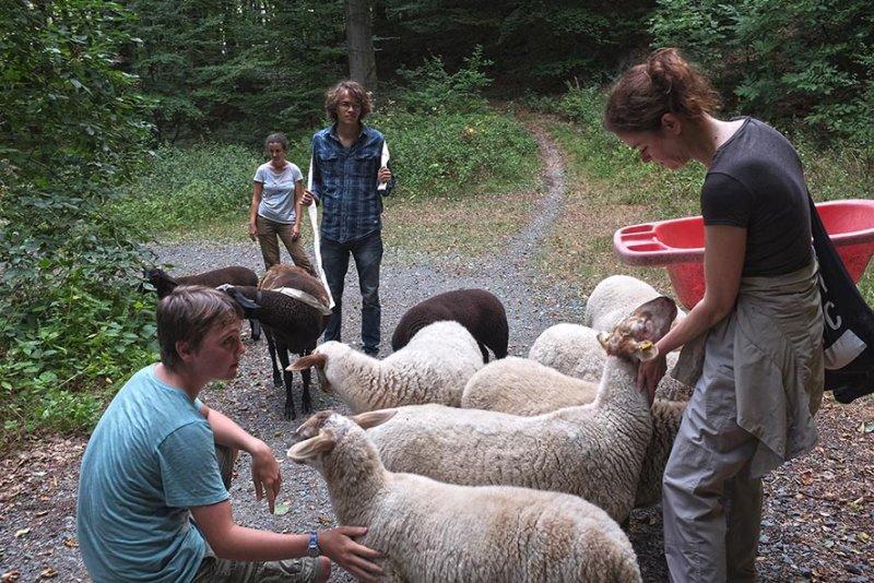 Schafwanderung in den Odenwald - Rast 5