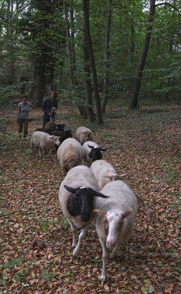 Schafwanderung in den Odenwald 2
