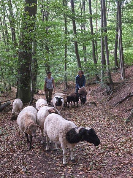 Schafwanderung in den Odenwald 3