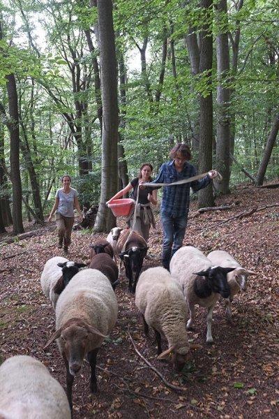 Schafwanderung in den Odenwald 4