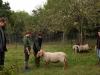 Schafgruppe 4