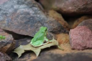 Junger Laubfrosch im Terrarium