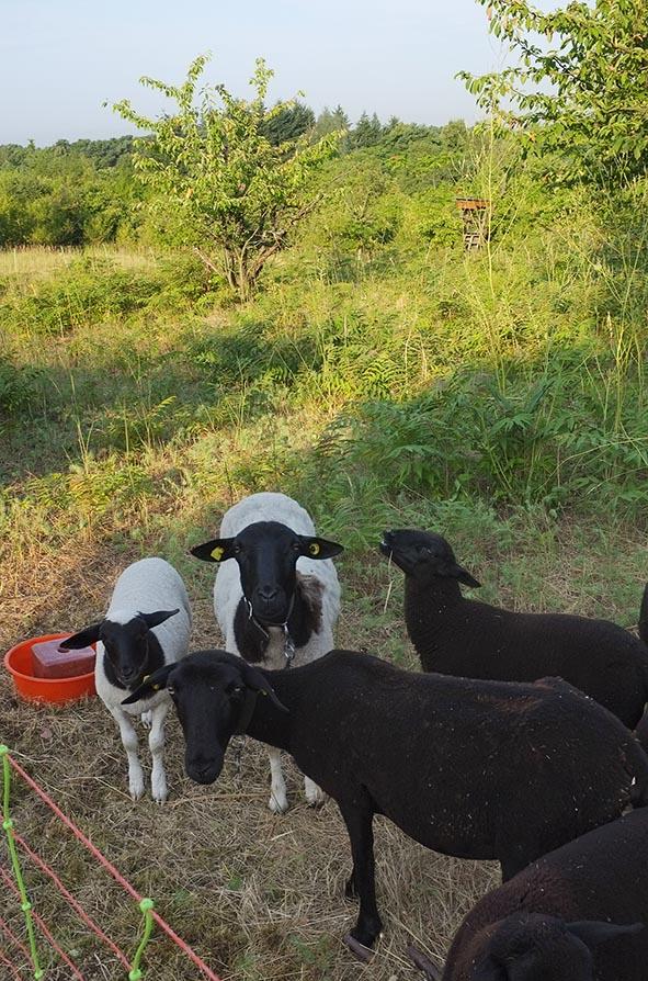 Fotos: NABU/Tino Westphall - Die NABU-Schafe fressen sich gerade durch das benachbarte Wiesenstück.