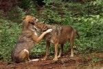 Gehegewölfe im Tierfreigelände des NP Bayerischer Wald.
