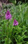 Orchideenblüte am Seeheimer Blütenhang