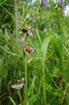 Bienen-Ragwurz in Blüte am Blütenhang