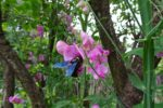 Holzbiene und Rosenkäfer
