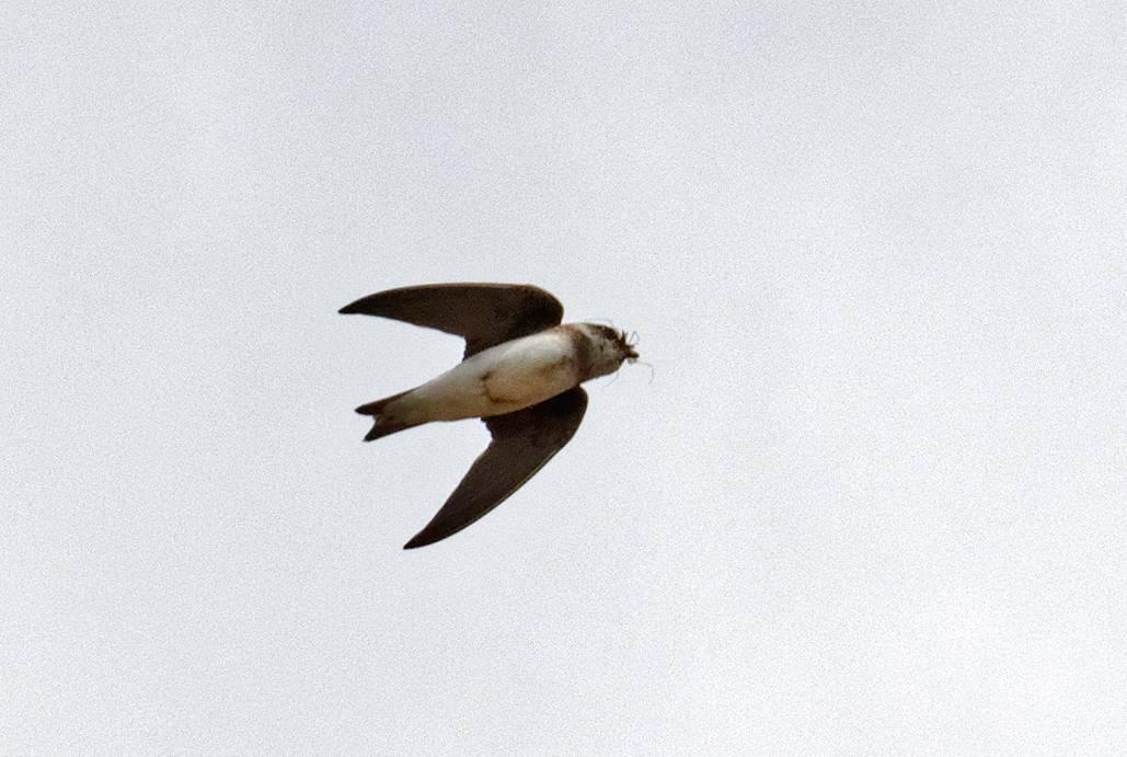 Foto: Roland Tichai - Uferschwalbe - In der Luft mit Beute im Schnabel