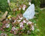 Schmetterlingszeit im Garten