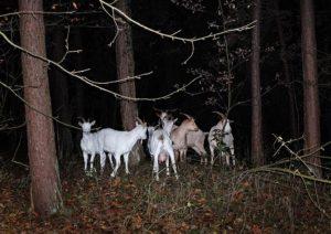 Foto: NABU/Tino Westphal - Ziegen im nächtlichen Wald