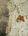 Großer Fuchs am Seeheimer Blütenhang