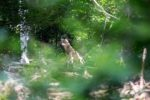 Erster Wolf im Odenwald