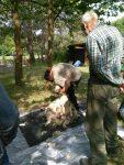 Schafschur auf der Pfadfinderweide