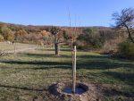 Nachpflanzung im Kirschgarten