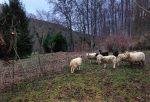 Heu für die NABU-Schafe