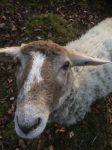 Kräutergärtner unter Schafen