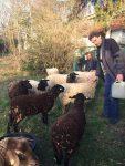 Wurmkur für die NABU-Schafe